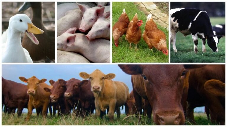 Nigeria has potentials to generate N13trn from livestock annually –NIAS Registrar